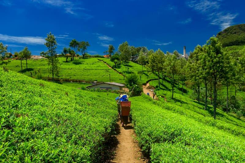 Sikkim, Tea Plantation